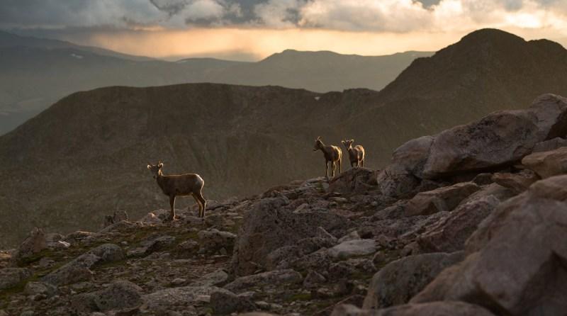 Mt. Evans Sheep