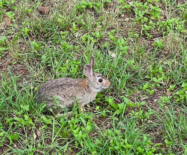 VioletCrown_June2021_bunny
