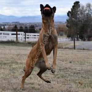 Denver Top Dog