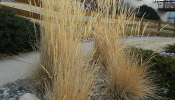 Common Ornamental Grasses Update on karl foerster colorado yard care time to cut back the karl foerster workwithnaturefo