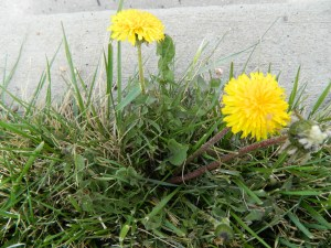 Dandelion growing in lawn