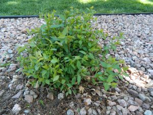 After being pruned for symmetry, the shrub has a general mound shape.