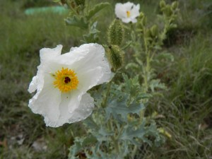 Close up prickly poppy