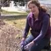 Catherine pruning blue mist spirea