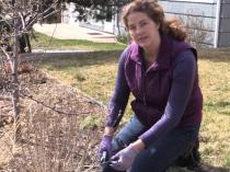 How to Prune Blue Mist Spirea in Spring