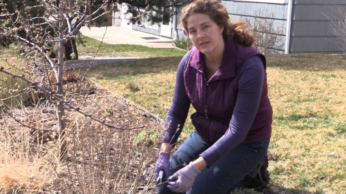 Video: How to Prune Blue Mist Spirea during Spring Cleanup