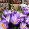 Giant Crocus in Spring