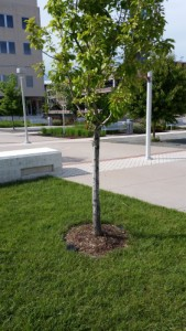 Small mulch ring for tree
