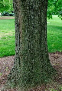 Notice how healthy the trunk of this Kentucky coffeetree is. And notice the mulch ring! Photo courtesy of Vern Wilkins, Indiana University, Bugwood.org