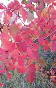 Threeleaf sumac closeup fall color