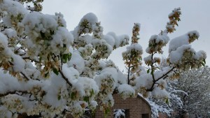 Branches with Spring Snow