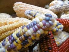 Farbigen Mais gibt's nicht nur in Peru, sondern auch hier im Garten