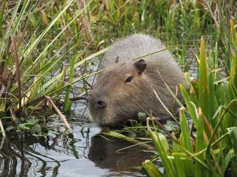 Aein Capybara begibt sich ins Wasser
