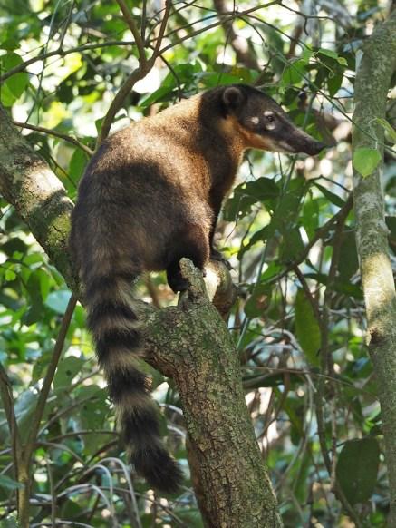 Die Coatis hier habe ein normaleres Verhalten als die Banditen von Iguazu