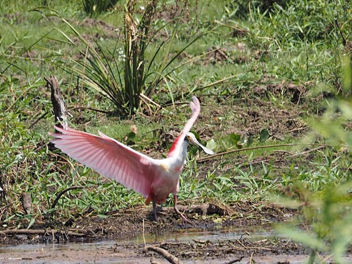 Der Roseate Spoonbill verdankt seine rosa Farbe wie die Flamingos den Algen, die er frisst