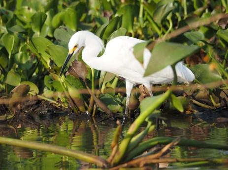 Ein Snowy Egret auf Futtersuche