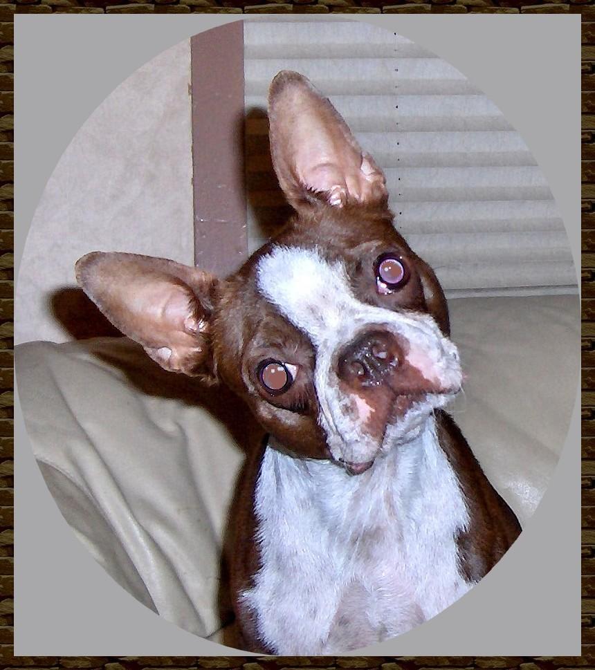 Boston Terriers Health hereditarynonhereditary problems