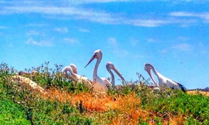 Pelikane auf der Pinguin-Insel