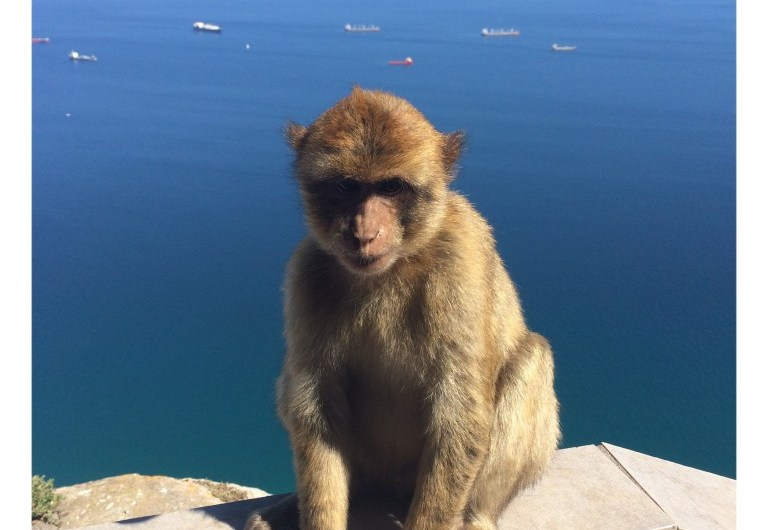 Die Affen in Gibraltar