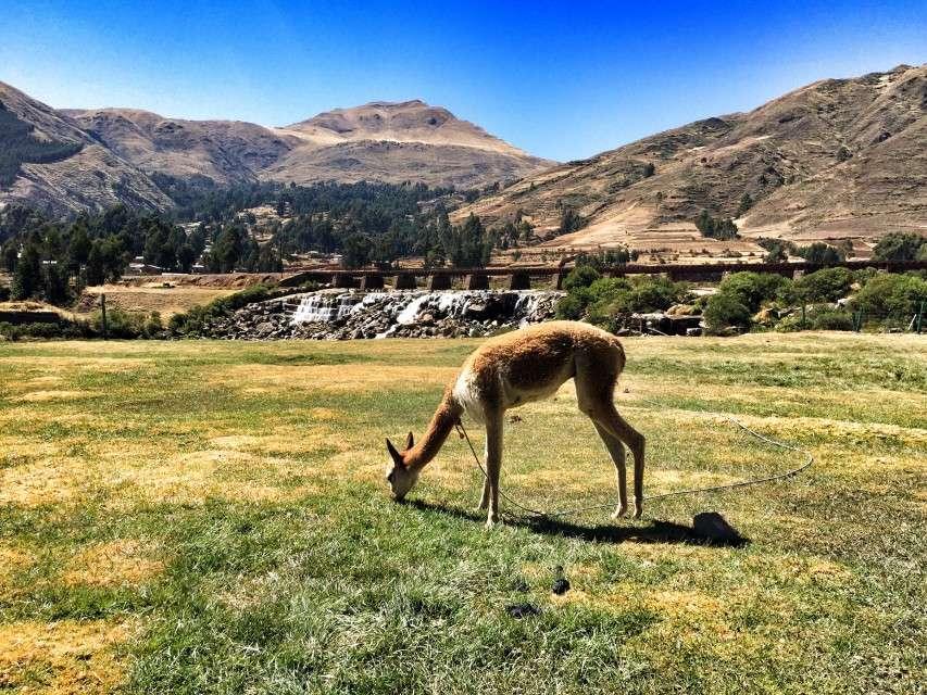 Junges Lama grast im Hochland