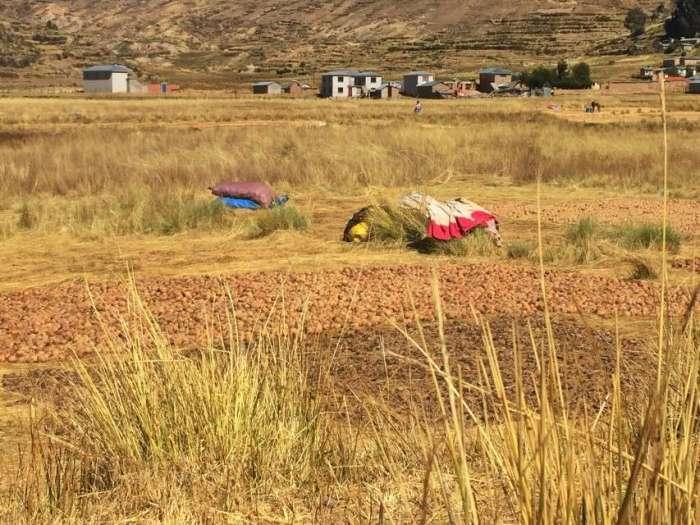Kartoffeln liegen zum Trocknen auf dem Feld in einem Dorf am Titicacasee in Bolivien
