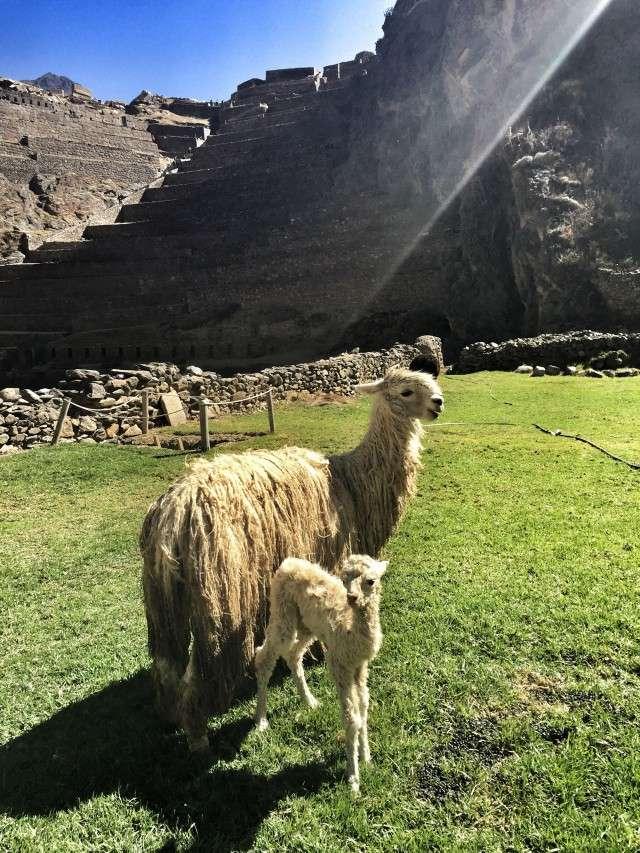 Ein Lama mit seinem Jungen vor der Inkastätte