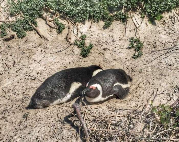 Pinguin-Pärchen an der Foxy Beach