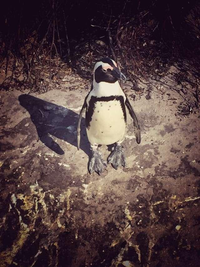 Pinguin an Betty's Bay