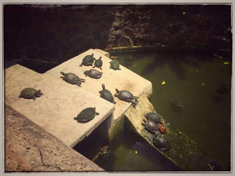 Becken mit Schildkröten im Hof des Tempels