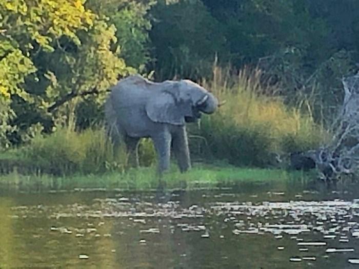 Elefant am Ufer des Sambesi-Flusses