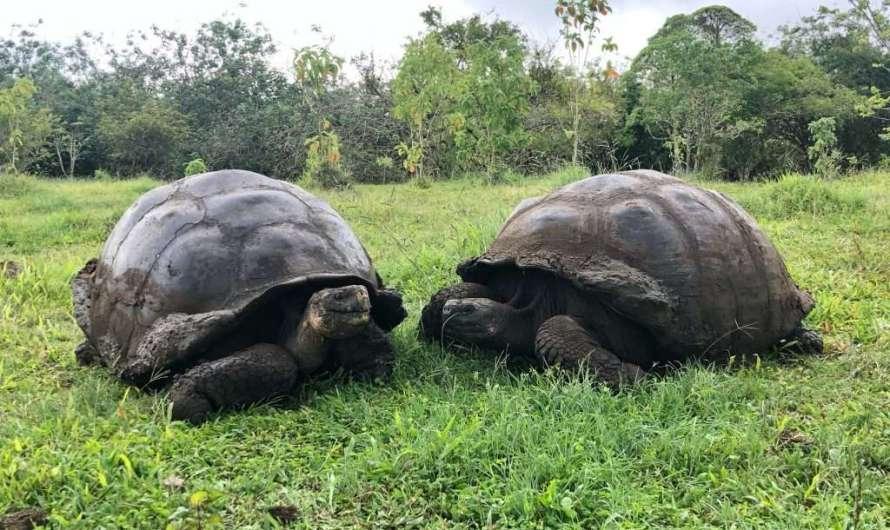 Riesen-Schildkröten auf den Galapagos-Inseln