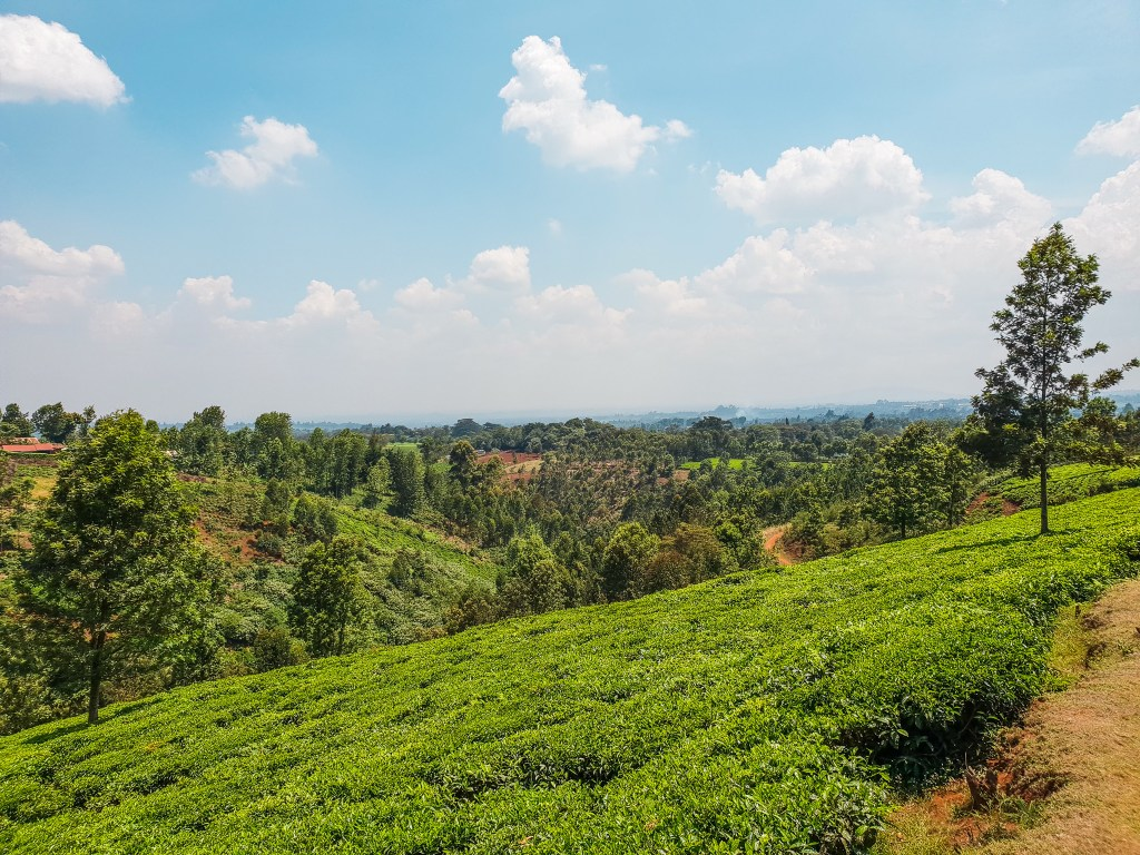 Tigoni Tea Farm Nairobi Kenya
