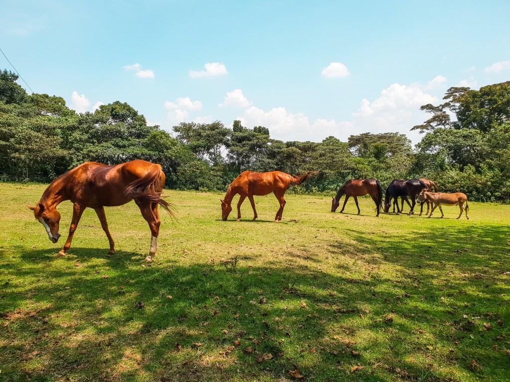Tigoni Tea Farm Nairobi Kenya Horses