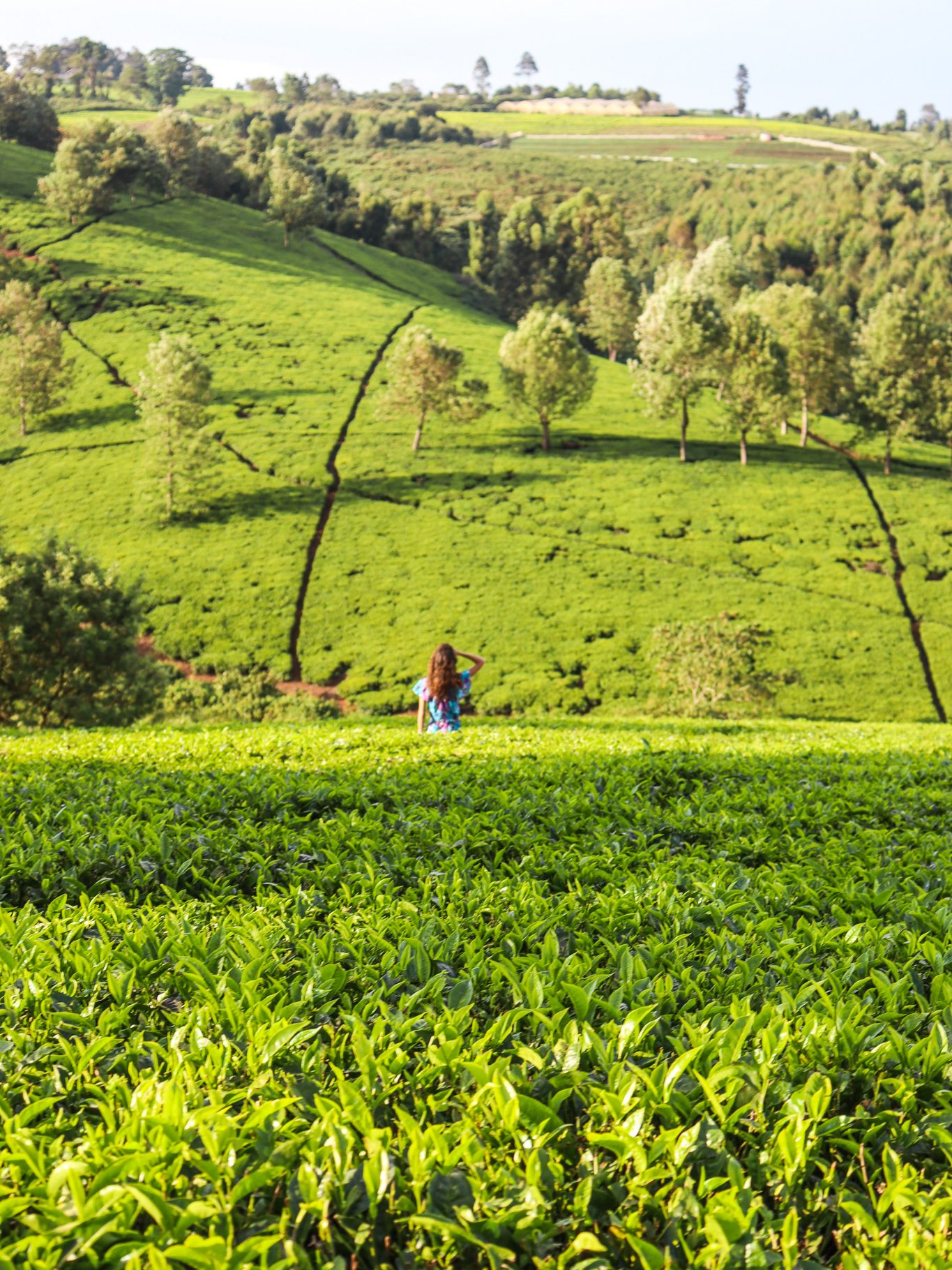 Tigoni Tea Farms Nairobi