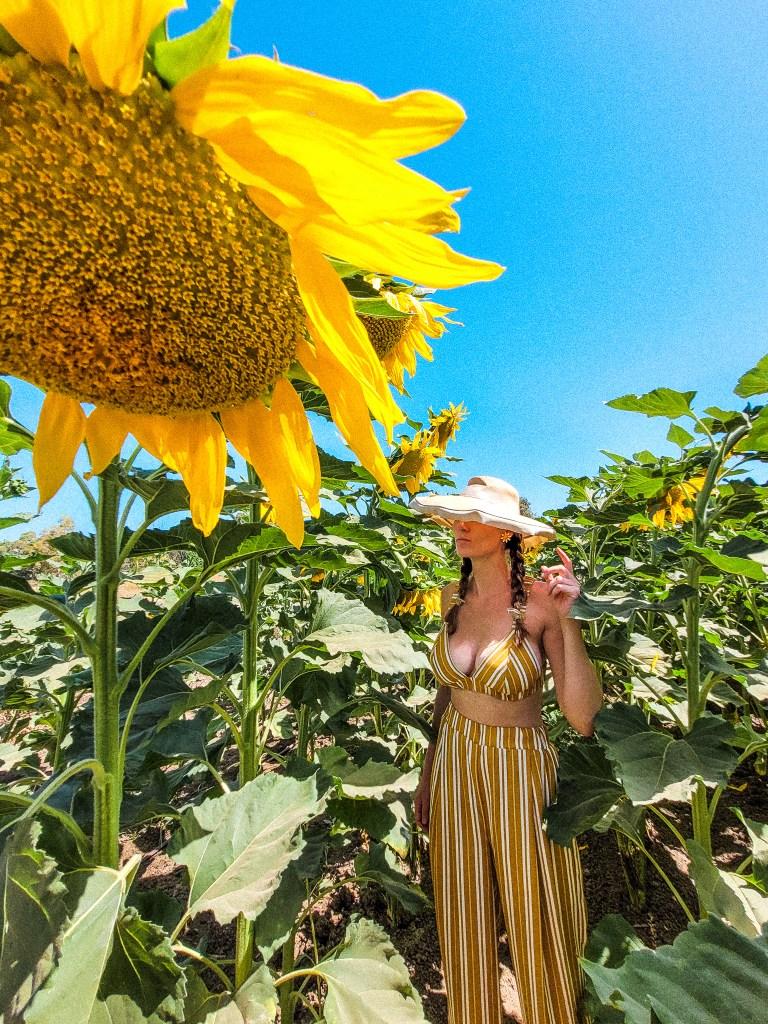 Sunflower fields israel