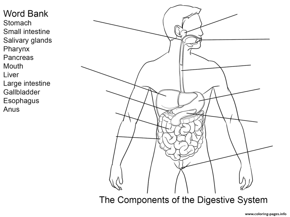 medium resolution of Digestive System Color Worksheet   Printable Worksheets and Activities for  Teachers