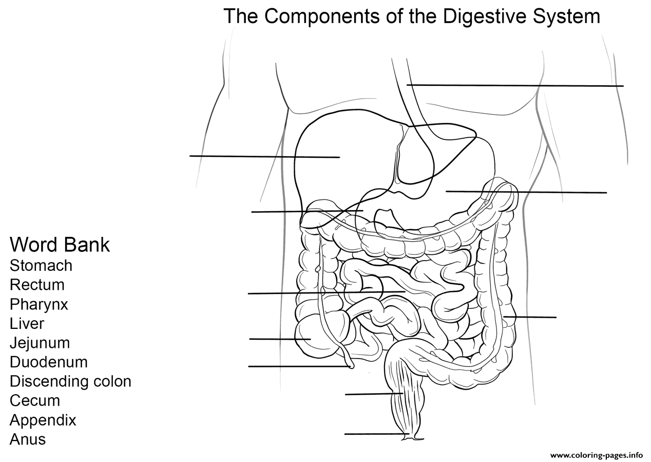 Digestive System Worksheet Coloring Pages Printable