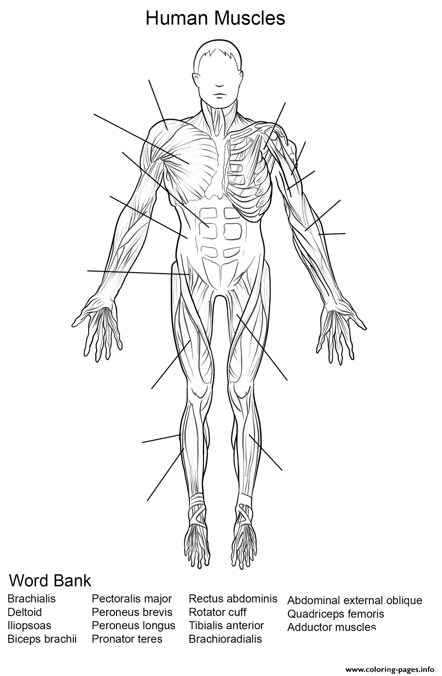 Human Muscles Front View Worksheet Coloring Pages Printable