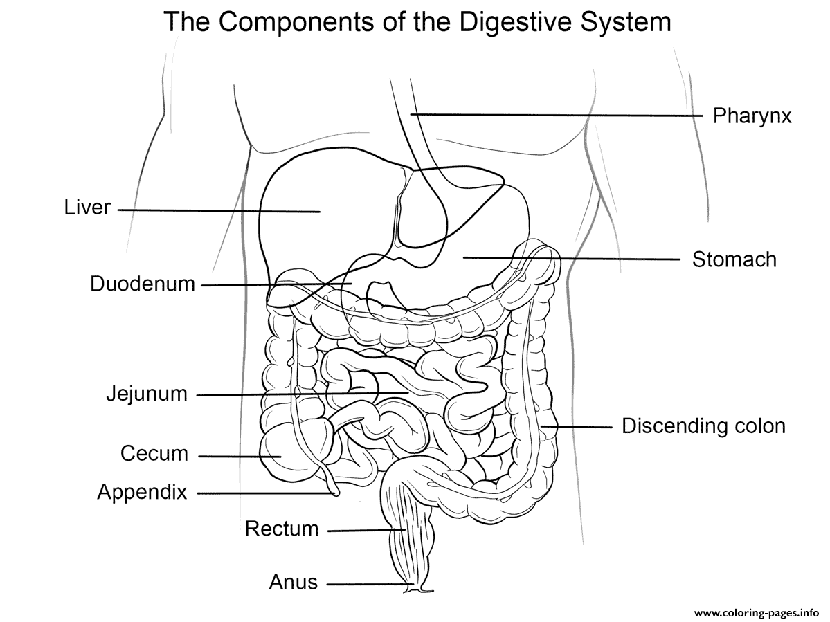 Human Digestive System Coloring Pages Printable