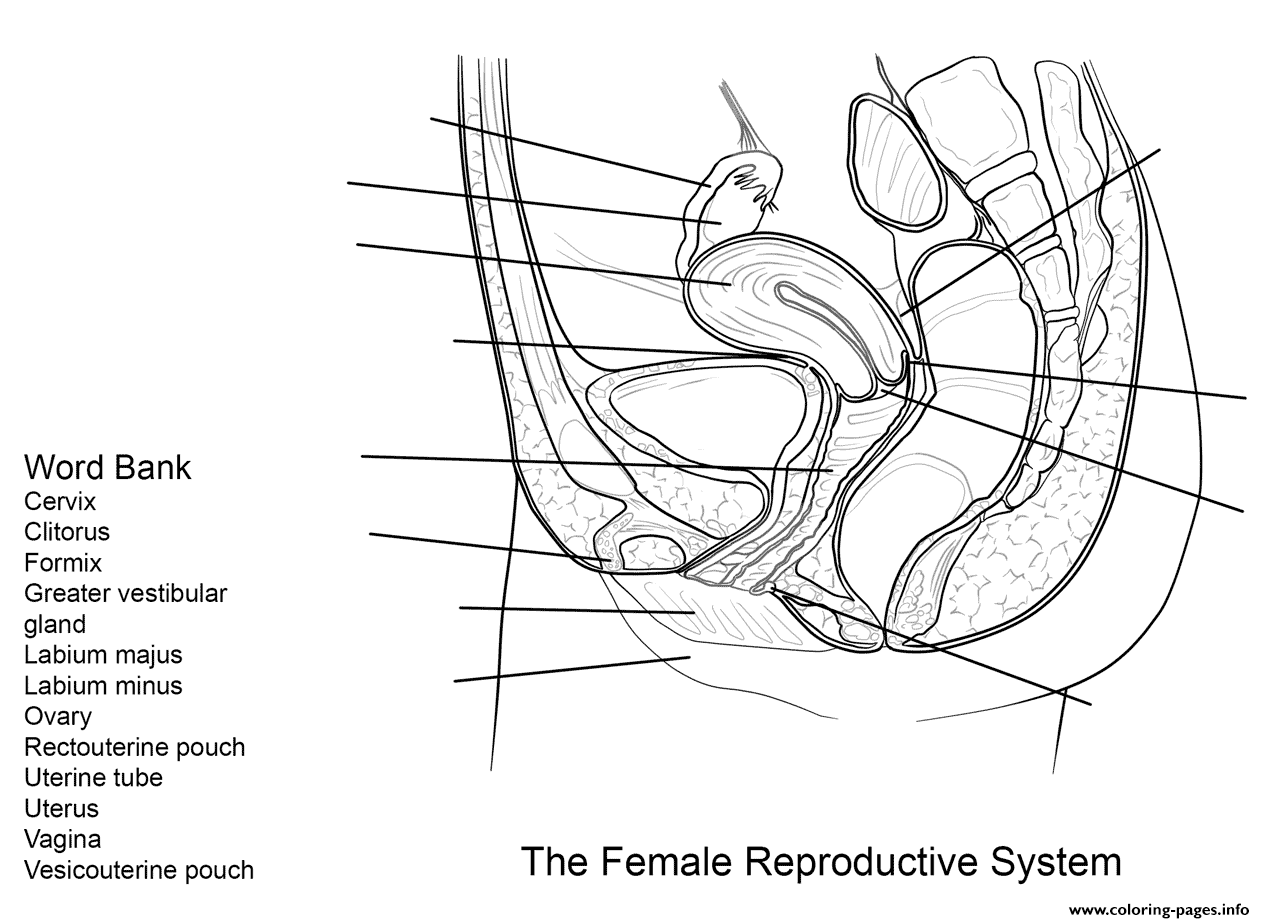 Female Reproductive System Worksheet Coloring Pages Printable