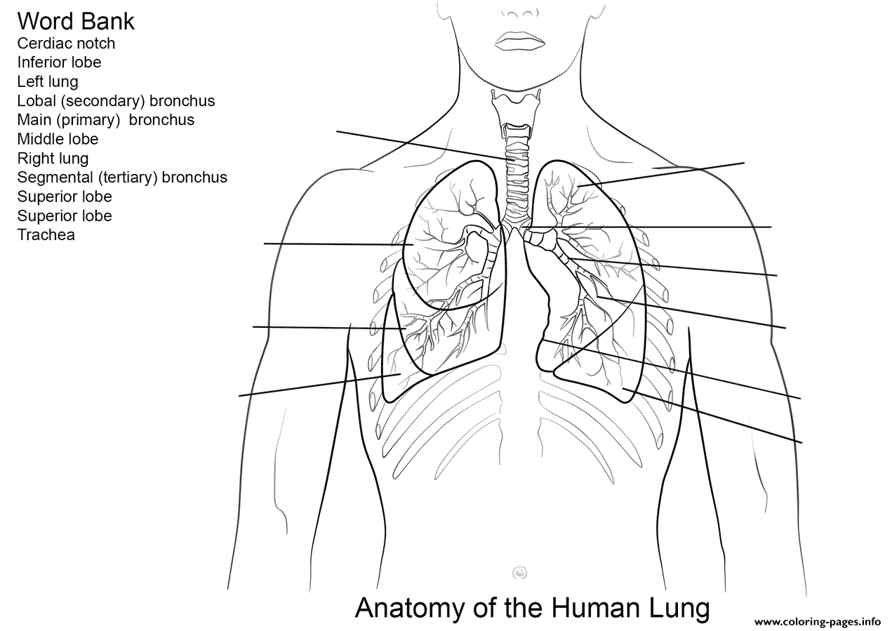Human Lungs Worksheet Coloring Pages Printable