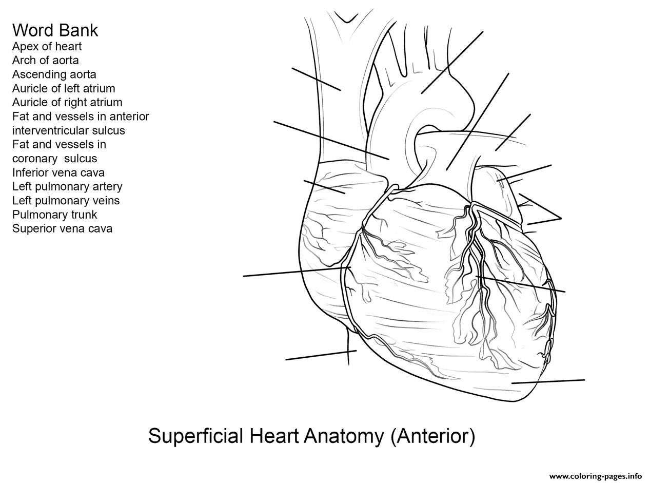 Human Heart Worksheet By Yulia Znayduk Coloring Pages