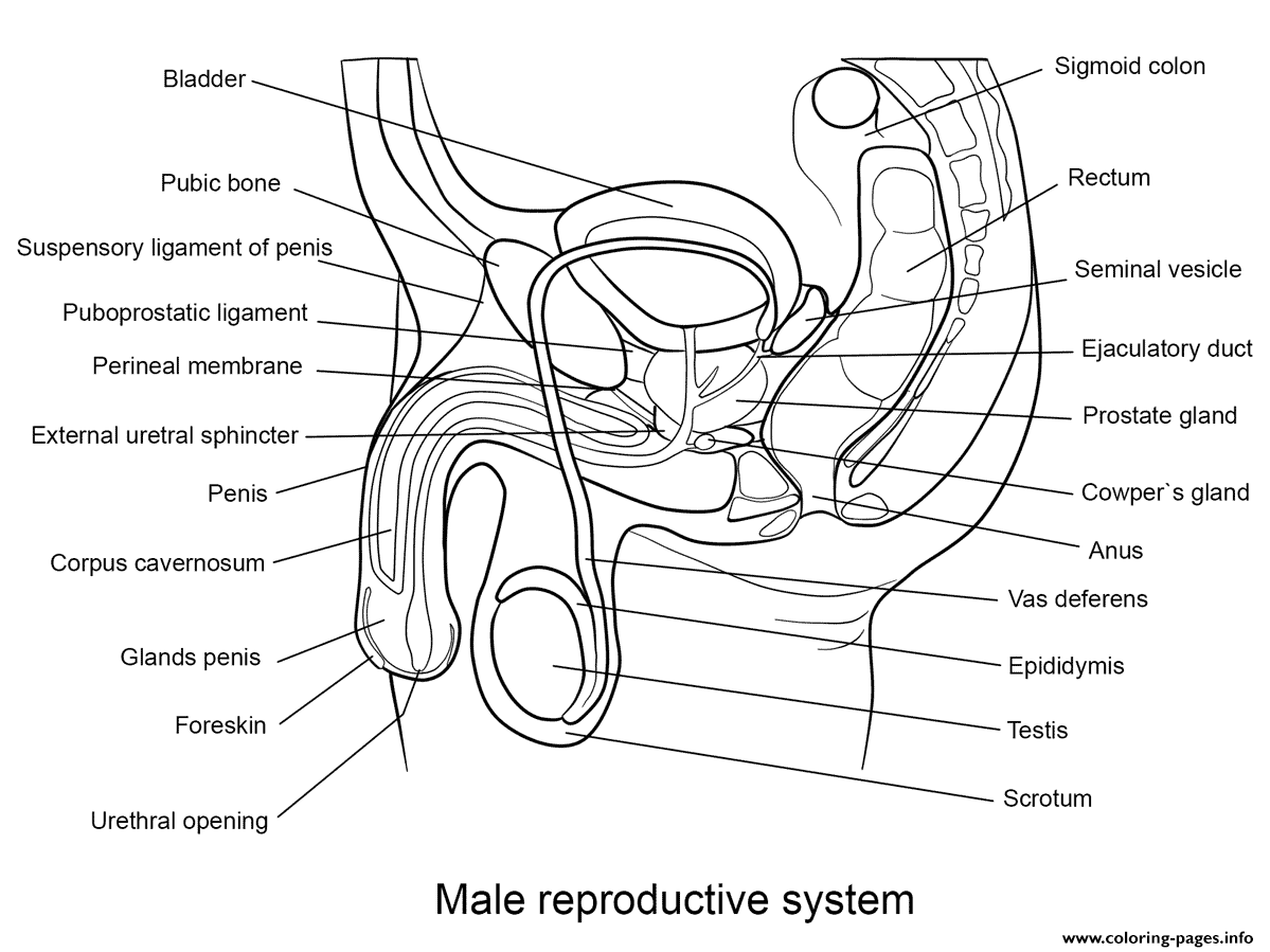 Male Reproductive System Coloring Pages Printable