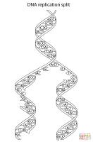 DNA Replication Split Coloring Page   Free Printable ...