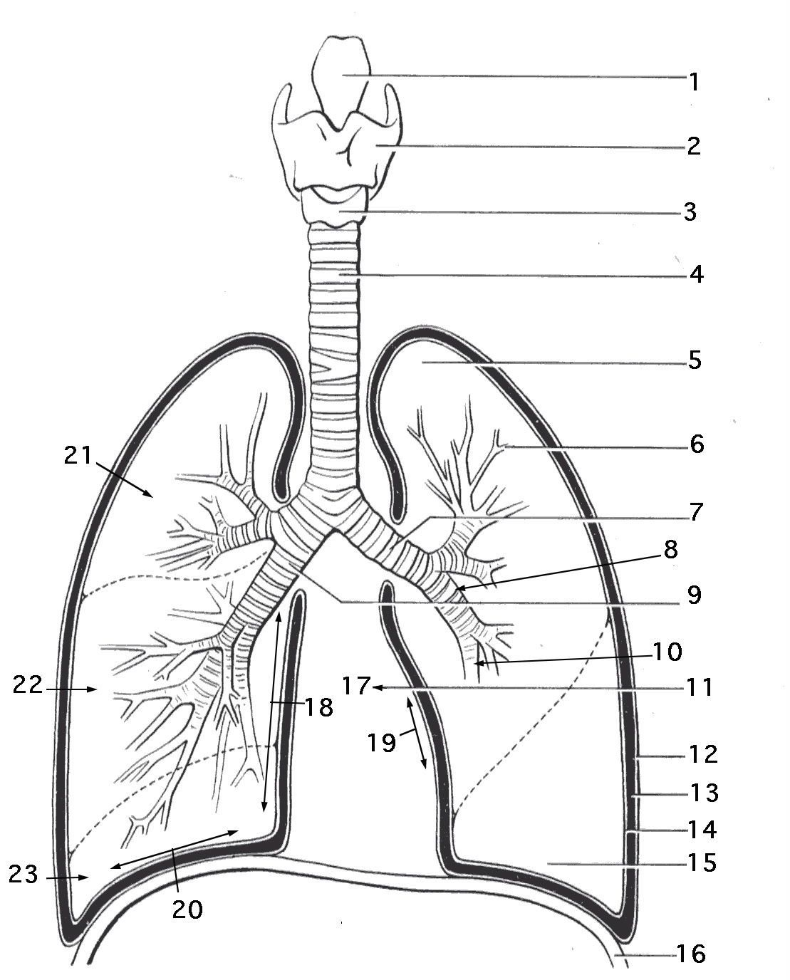 hight resolution of lung diagram printable wiring diagram expert lung diagram blank