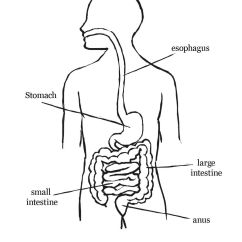 Large Intestine Diagram Blank Cat 3 Wiring Rj11 Digestive System Coloring Page Home