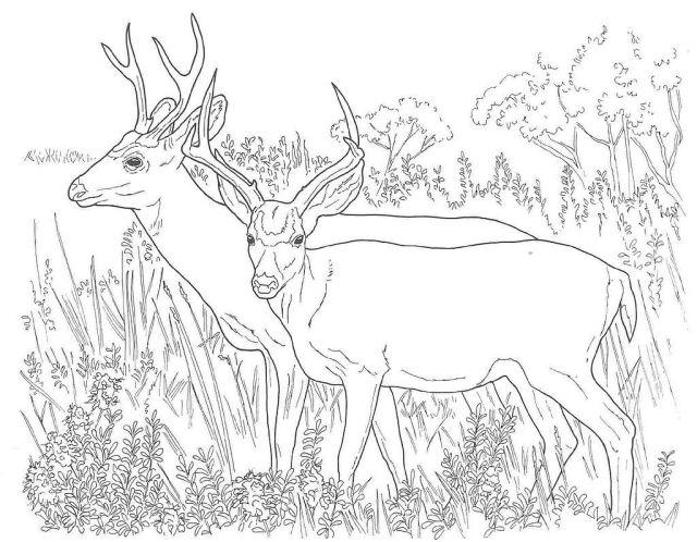 Ruminant Mammal Deer 11 Deer Coloring Pages  Free Printables