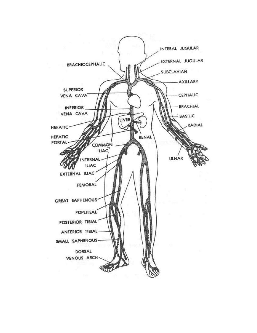 Veins And Arteries Coloring Pages - Coloring Home