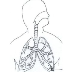 Human Respiratory System Diagram Unlabeled 2000 Honda Accord Coupe Radio Wiring Coloring Page - Home