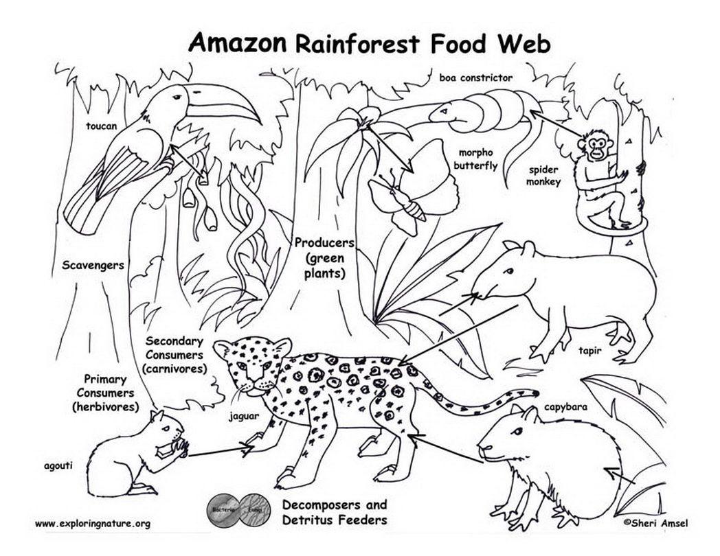 Amazon Rainforest Food Web Exploring Nature Educational